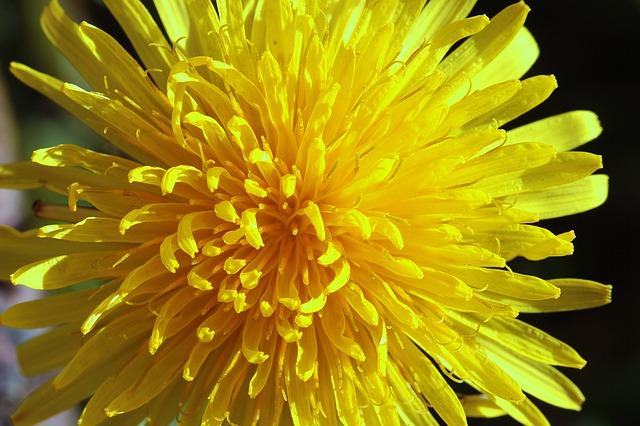dandelion-1342902_640