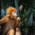 scimmia parlante
